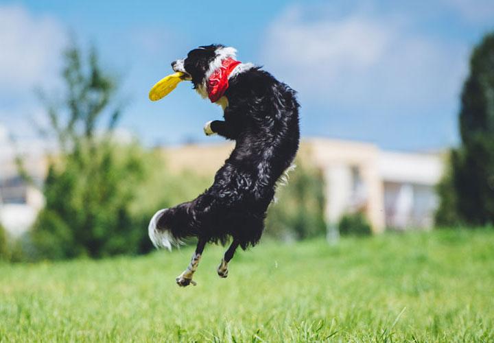 Agility dog catching frisbee